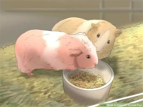 7 Tips On Caring For Pigs by 1000 Ideas About Caring For Guinea Pigs On