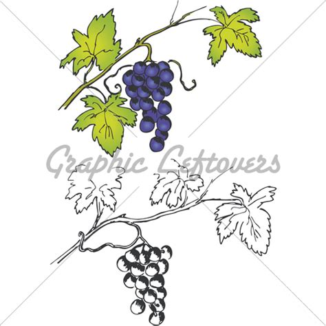 How To Search For On Vine How To Draw Grapes On A Vine Www Imgkid The Image Kid Has It