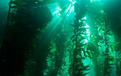 The In The Kelp kelp forest oceana