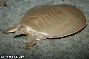 turtle rubber st species profile minnesota dnr