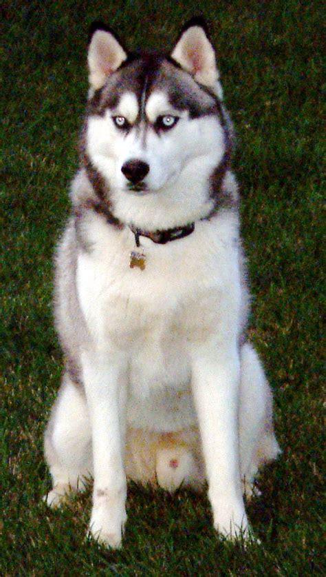 husky breed siberian husky