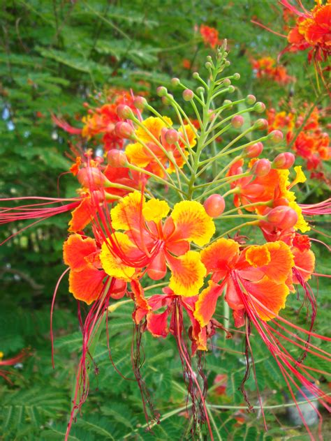 Garden Poinciana by Poinciana Tropical Florida Gardens