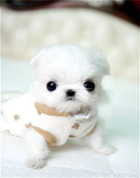 micro teacup maltese puppies for sale supper tiny teacup maltese puppies for sale