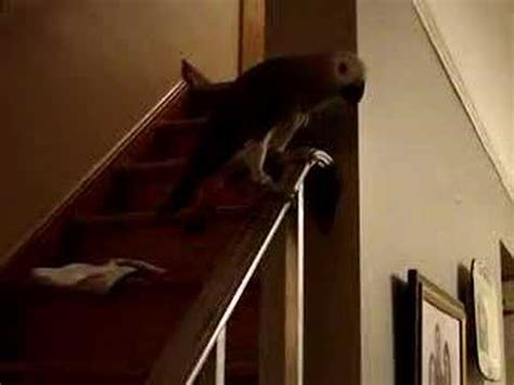 Sliding The Banister by Parrot Slides Banister With Great Style Funnycat Tv