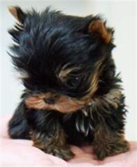 free teacup puppies in oklahoma dogs ponca city ok free classified ads