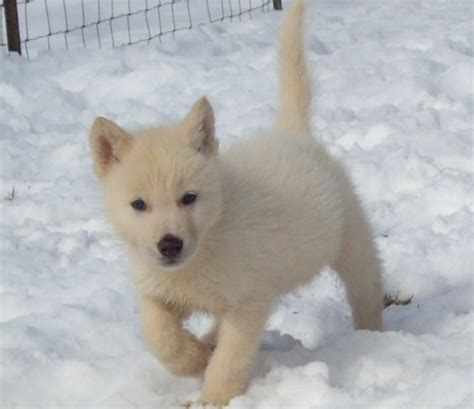 arctic wolf puppies pin arctic wolf wolves photo 6002944 fanpop fanclubs on