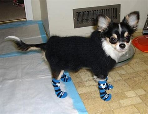 dogs in socks socks protection cleanliness and better traction for your pet s paws