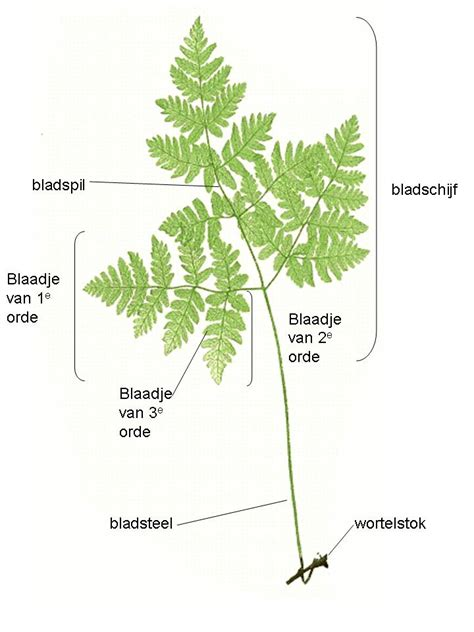diagram of a fern file fern frond anatomy jpg