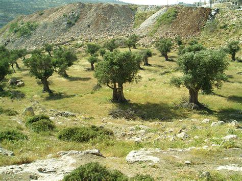 Bibit Pohon Zaitun Bogor cara menanam zaitun nasydira nursery