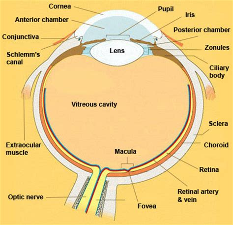 cross section of an eye eye in cross section anatomy the eyes have it