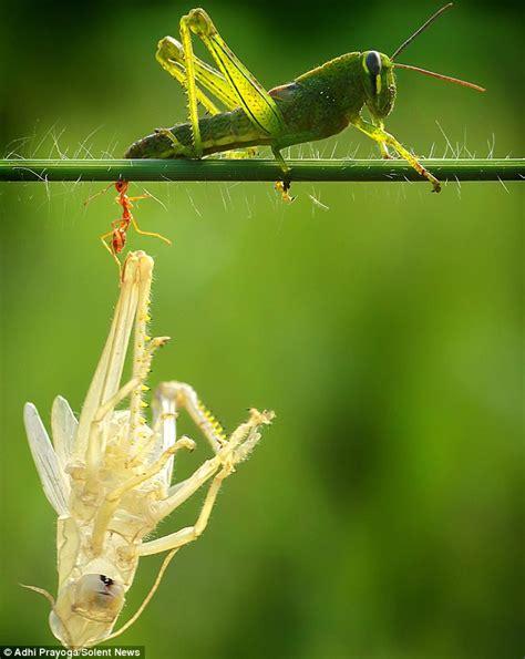Shedding Of The Exoskeleton by Patience Grasshopper Insect Carefully Shedding