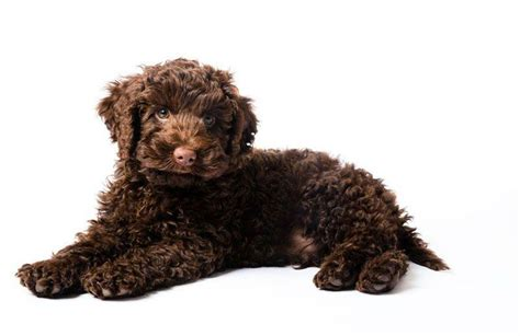 trained therapy dogs 91 chocolate labradoodle with blue puppy guinea pig wp39282 chocolate