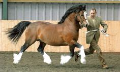 welsh cob section c 1000 images about cobs on pinterest welsh welsh pony