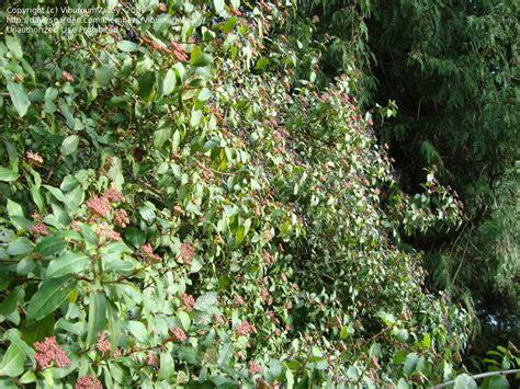 c fruit seattle wa plantfiles pictures laurustinus compactum viburnum
