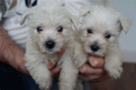 westie puppies for sale last 2 westie puppies for sale manningtree essex pets4homes