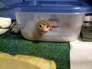 do leopard geckos need a heat l whovian fox an overview to caring for leopard geckos