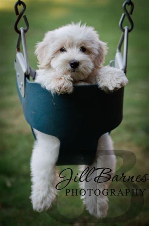 coton de tulear puppy cut 25 great ideas about coton de tulear on