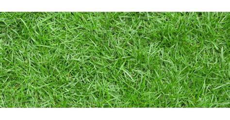 Bibit Rumput Jepang jual bibit rumput jepang