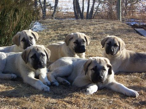 kangal puppies for sale dogs kangal 7 kurdish kangal puppies for salekurdish kangal puppies for sale