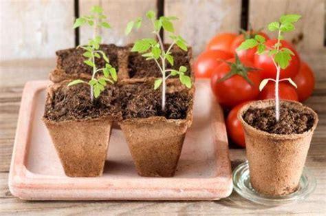 coltivazione pomodori in vaso coltivare i pomodori in vaso