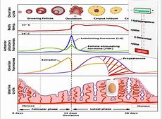 Natural Solutions to Infertility, PCOS and Female Hormone ... Female Period Cycle