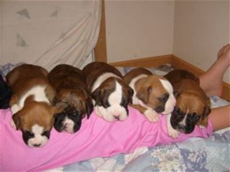 craigslist boxer puppies for sale boxer puppies for 50 dollars breeds picture