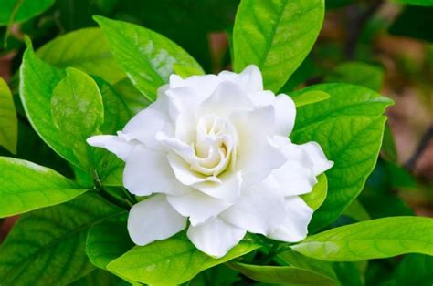 gardenia flowers learn how to grow and care for your gardenia