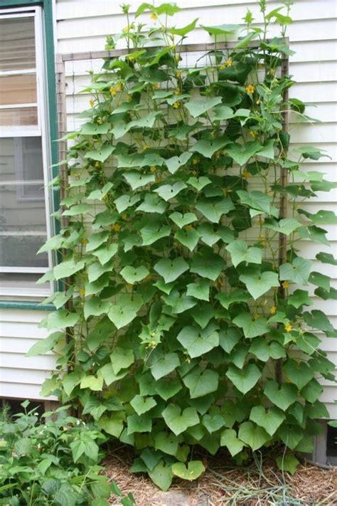 Vertical Cucumber Garden 17 Best Ideas About Cucumber Trellis On Raised