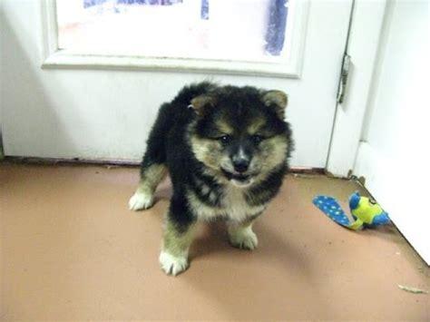 puppies for sale modesto ca shiba inu puppies for sale in sacramento county california ca 19breeders