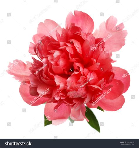 salmon colored flowers background flower rare salmoncolored peony isolated on stock photo