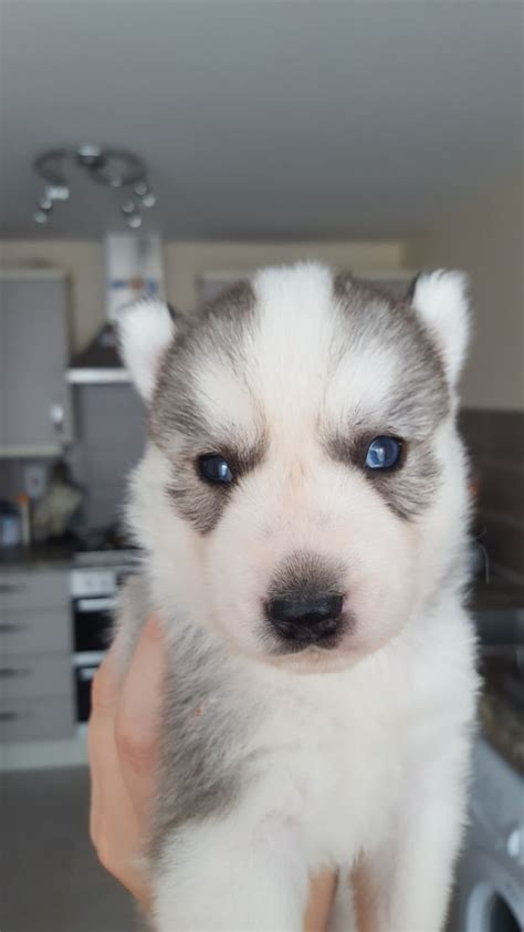 huskey puppies for sale siberian husky puppies for sale hinckley leicestershire pets4homes