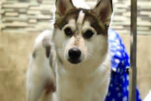Husky Shedding Tips by Grooming Tips From Echo A And Husky