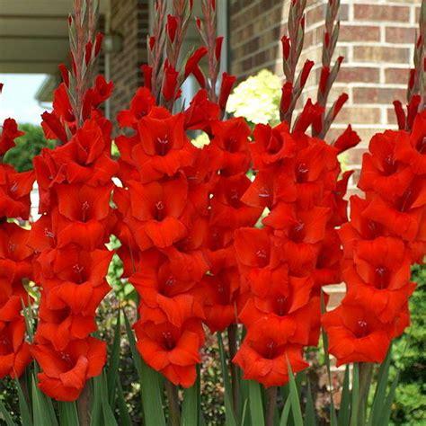buy gladiolus red bulbs   nursery