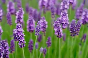 benefits of lavender plant dale candela cosm 233 tica