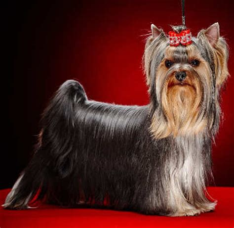 what were yorkies bred for which breed of puppy the terrier