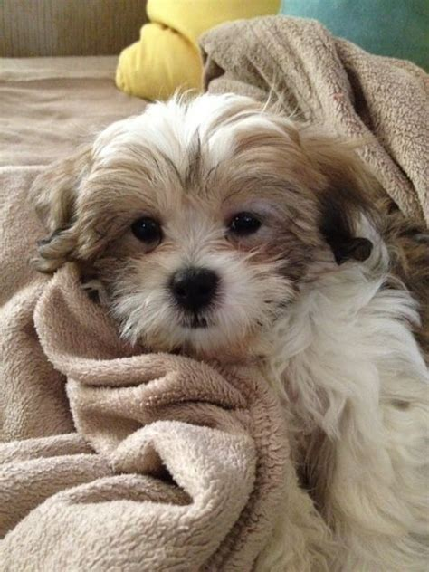 bichon shih tzu teddy bears teddy bears and on