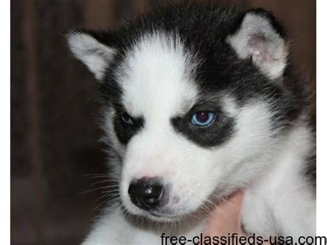 husky puppies for adoption in ny siberian husky rescue new york animals for adoption news