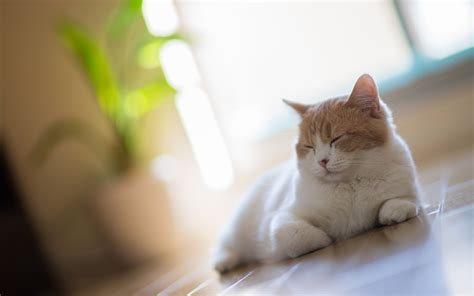 cat wallpaper for home white cat asleep on the floor at home wallpapers and