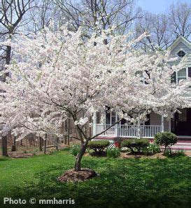 cherry blossom tree zone 9 best 25 flower tree ideas on wisteria tree flowering trees and pink flowering trees