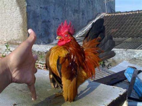 Bibit Ayam Kate Serama wajib baca hewan peliharaan yang unik dan mengemaskan