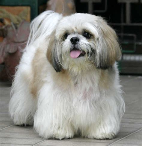talking shih tzu do you like dags let s talk about dogs i m naming mine mccoy arcade