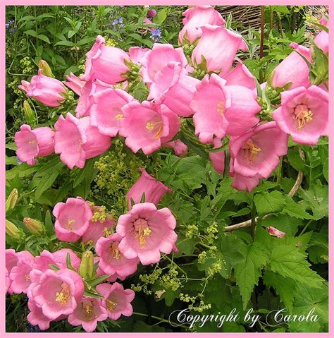 Glockenblume Rosa by Pink Bellflower Canula Medium Up Up And Away