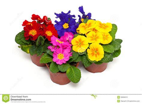 primule in vaso fiori assortiti della primula in vasi fotografia stock