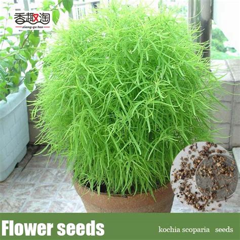 200pcs kochia scoparia seeds lawn grass seeds for homegarden plant seeds in bonsai from home