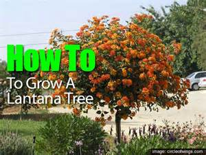 Large Patio Pots Lantana Plant How To Grow And Care For Lantana Flowers