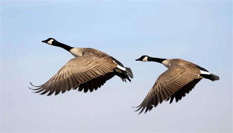 images of geese trek is the klingon bird of prey a canada goose