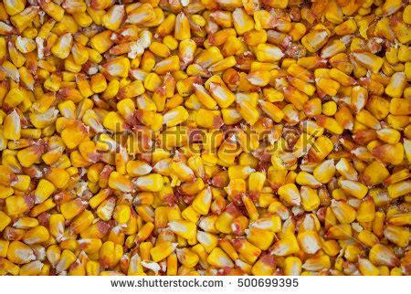 fodder corn stock photo 500699395 shutterstock