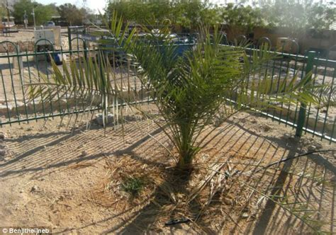 Year old seed discovered at herod s palace blossoms for third time