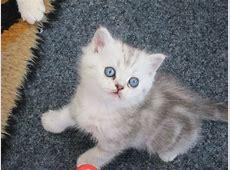 Exotic Persian kittens for sale | Bradford, West Yorkshire ... Kittens For Sale