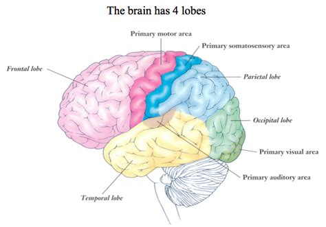the human frontal lobes third edition functions and disorders science and practice of neuropsychology books the brain cerebral cortex psychology 201 with sereno